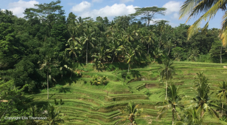 Rice terrace UBUD